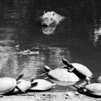 Capybara: The Biggest Rodent In The World *** Największy gryzoń na świecie