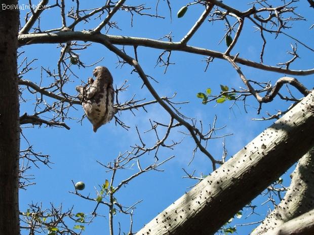 leniwiec z Cotoki